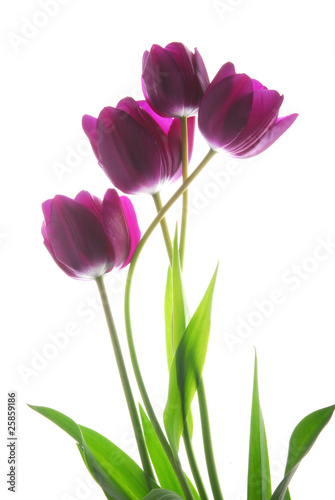 Fototapeta bunch of viol tulip flowers obraz