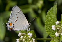 Gray Hairstreak Butteryfly On White Lantana Blooms