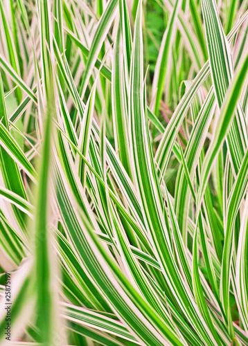 Fotografie, Obraz  Carex variegata
