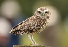 Portrait Of A Burrowing Owl