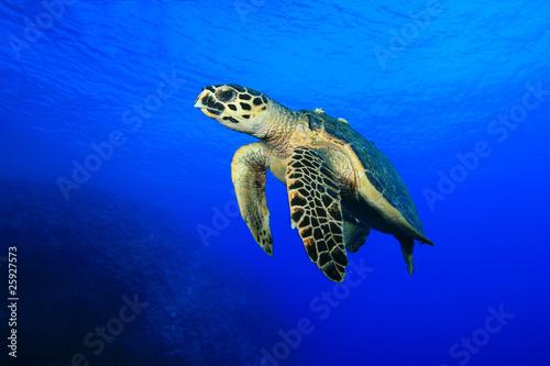 In de dag Schildpad Sea Turtle
