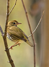 Ovenbird In A Spring Forest