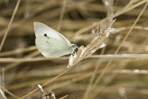 Mariposa blanca.