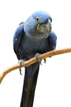 Bright Blue Hyacinth Macaw On ...