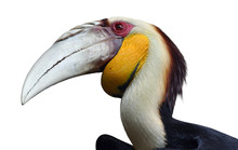 Wreathed Hornbill Isolated
