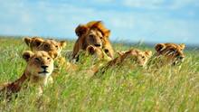 A Pride Of Lions. Serengeti Na...
