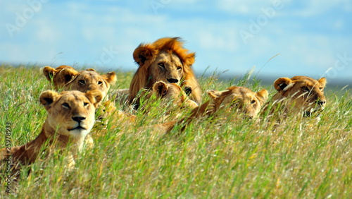 Photo A pride of lions. Serengeti National Park, Tanzania