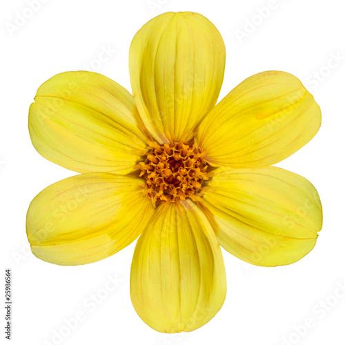 Poster de jardin Dahlia Yellow Dahlia Flower Isolated on White Background
