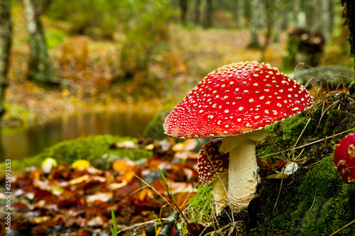 Amanita poisonous mushroom Tablou Canvas