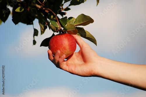 Fototapeta jabłko z sadu obraz