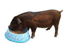 Lady Gruntsalot, A Kune Kune Piglet Eating From A Bowl