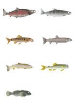 川魚イラスト