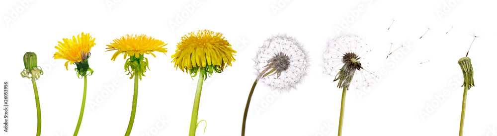 Fototapety, obrazy: dandelions from the begining to senility