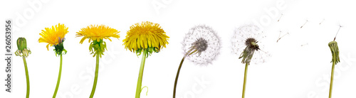 Photo sur Toile Pissenlit dandelions from the begining to senility