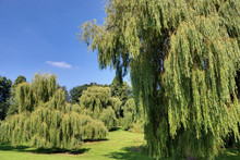 Weeping Willows In Bitts Park, Carlisle, Cumbria