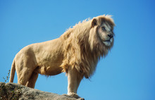 A Male Lion Standing On A Rock With A Blue Sky Background