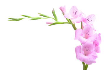 Pink gladiolus isolated on white