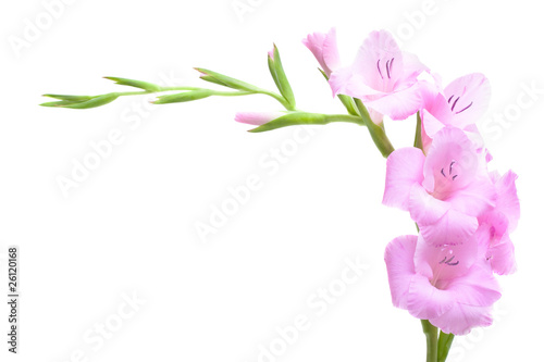 Pink gladiolus isolated on white