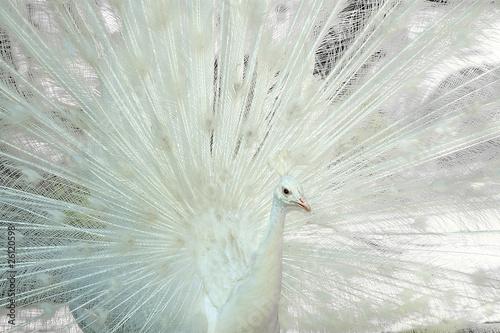 Valokuva  Pavo real albino