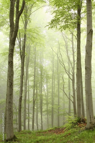 Foto auf Acrylglas Wald im Nebel Enchanted forest with mist moving between the trees