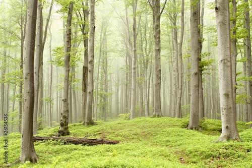 Foto auf Acrylglas Wald im Nebel Misty spring forest on the mountain slope
