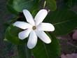 canvas print picture - fleur de tiaré