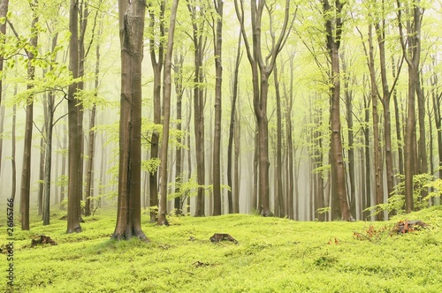 Papiers peints Foret brouillard Landscape of spring beech forest in a nature reserve