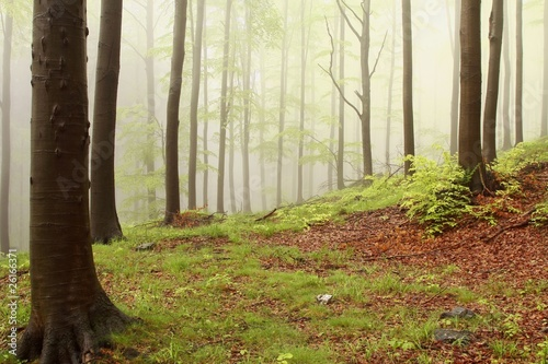 Foto auf Acrylglas Wald im Nebel Spring forest with alder trees surrounded by mist