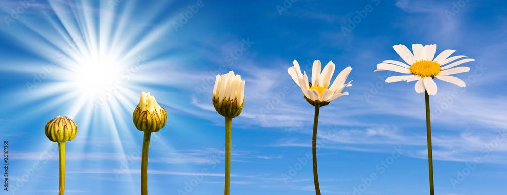 Fototapeta Etapes de la croissance d'une marguerite, fond ciel