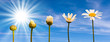 canvas print picture - Etapes de la croissance d'une marguerite, fond ciel