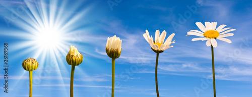 Photo Etapes de la croissance d'une marguerite, fond ciel