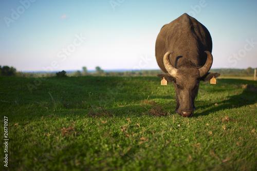 Tuinposter Buffel Water buffalo grazing the pasture