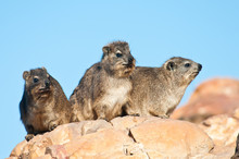 Cape Hyrax Sitting On A Rock