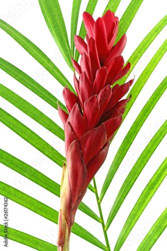 Photo alpinia purpurata, gingembre rouge sur palme verte