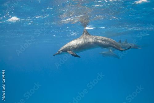 Tuinposter Dolfijn Wild Spinner dolphins.