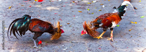 Canvas Cock fighting