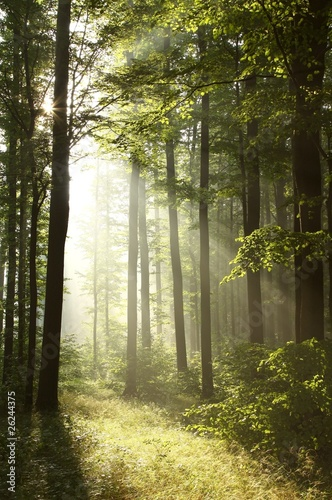 Foto auf Acrylglas Wald im Nebel Bright light falling into the misty forest at dawn