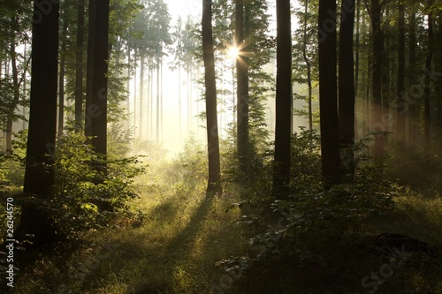 Foto auf Acrylglas Wald im Nebel Sunlight falling into the misty spring forest at dawn