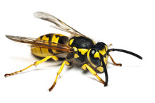 Live Wasp Isolated On White Ba...
