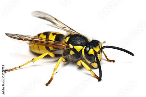 Live wasp isolated on white background Fototapeta