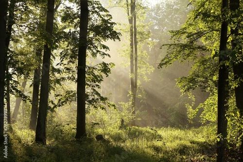 Foto auf Acrylglas Wald im Nebel Spring Forest at dawn after a heavy rainfall