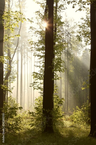 Foto auf Acrylglas Wald im Nebel Sunbeams entering into forest on a misty morning