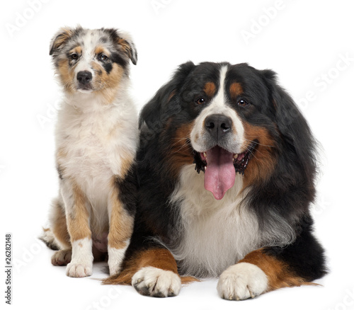 Bernese Mountain Dog Lying And Australian Shepherd Puppy