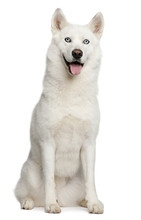 Siberian Husky, 3 Years Old, Sitting