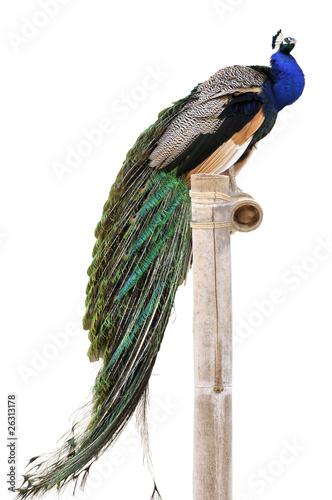 Fotografie, Tablou Détourage d'un paon bleu de profil sur un perchoir