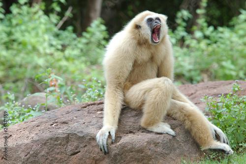 angry gibbon фототапет