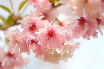 Fototapeta Egzotyczne 八重桜 double cherry blossoms