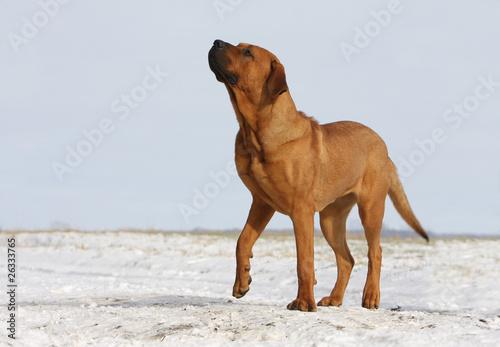 Canvas beauté du tosa, chien de combat japonais
