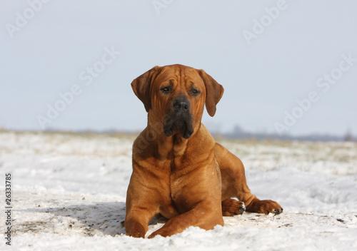 Fotografia, Obraz fierté du tosa,chien japonais