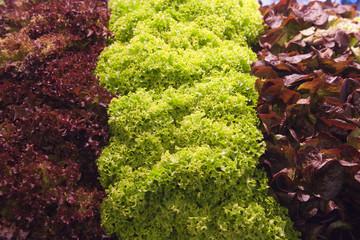Panel Szklany Warzywa 3 COLORE INSALATA